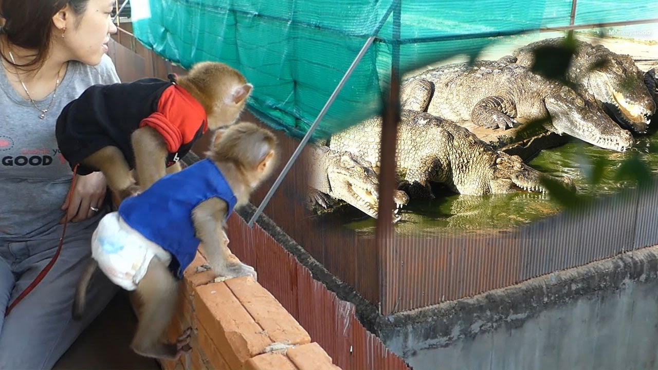 Dodo And Monkey Donal Get Meal Upstairs Looking Crocodile Pool