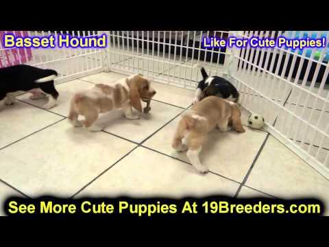 Basset Hound, Puppies, For, Sale, In, Cheyenne, Wyoming, WY, Casper, Laramie,