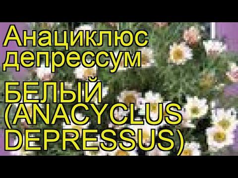 Анациклюс депрессум Депрессум Белый. Краткий обзор, описание характеристик, где купить семена
