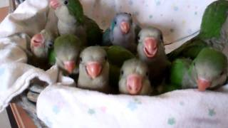 Baby Quaker Parrots Time to Eat