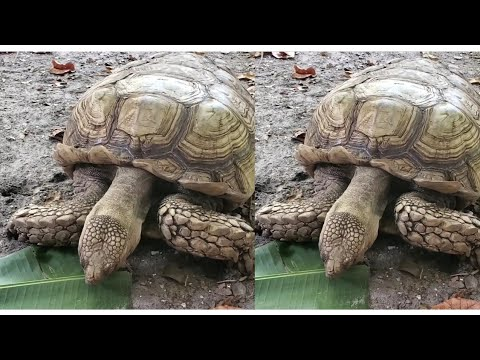 Download Huge Turle/Tortoise Eating