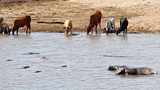 Crocodiles Catch Cow Then Hippos Steal It!