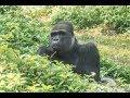 金剛猩猩「寶寶」有動物朋友~成長過程才沒有太過孤單!