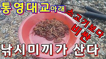 최고가의 낚시미끼 참갯지렁이/혼무시잡기 동영상//혼무시 잡는법/혼무시 가격