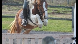 Bombproof Beginner Small Child's 12.2h Paint Pony for off farm lease