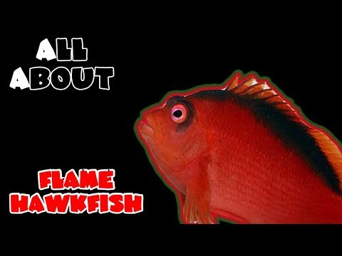 All About The Flame Hawkfish