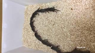 ジャコウネズミhouse shrew / キャラバン行動Caravan behavior (part 1)