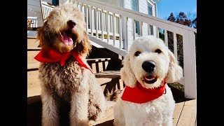 THE TRUTH ABOUT GOLDENDOODLES!! IS IT THE RIGHT BREED FOR YOU?