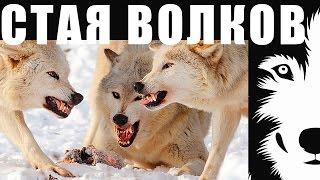 Как передвигается волчья стая? Волки Северной Канады. Самые большие и сильные волки в мире