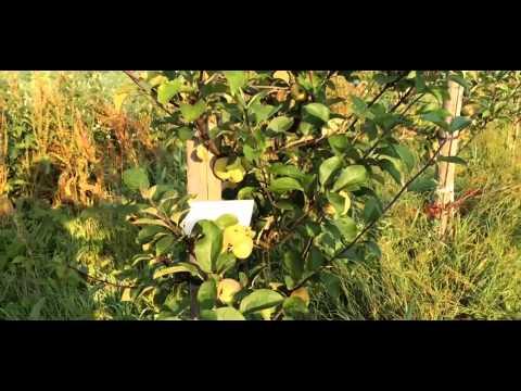 Яблоня сорт Коробовка Ранетка, Медуничка, Скороспелка  Ранние летние сорта яблонь