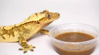 Thinking about Getting a Crested Gecko? WATCH THIS FIRST!