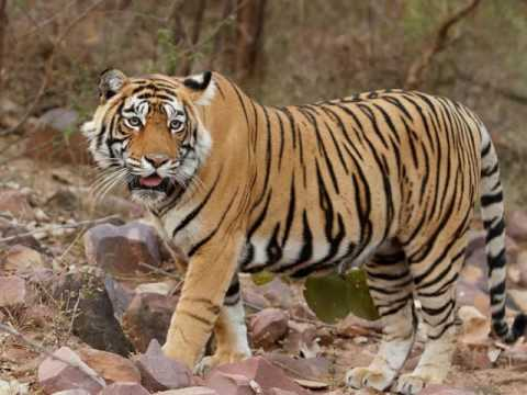 Book Wildlife Holiday Tour Packages Ranthambore National Park Rajasthan