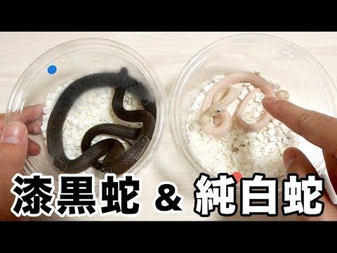漆黒の蛇と純白の蛇が美しすぎる...