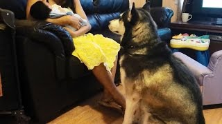 Siberian Husky Just Wants To Sniff Newborn Baby Boy!