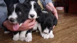 ビアデッドコリーの子犬販売情報はこちらhttp://www.dog-lien.com/index...
