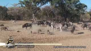Zebra kicks warthog