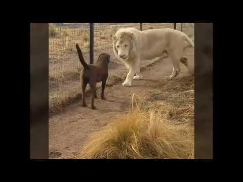 White Lion   Lion Asking Dog for Forgiveness