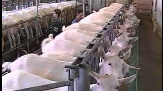 How dairy goats are milked