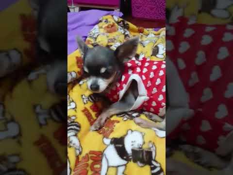 犬♡チワワ♡ももちゃん♪②