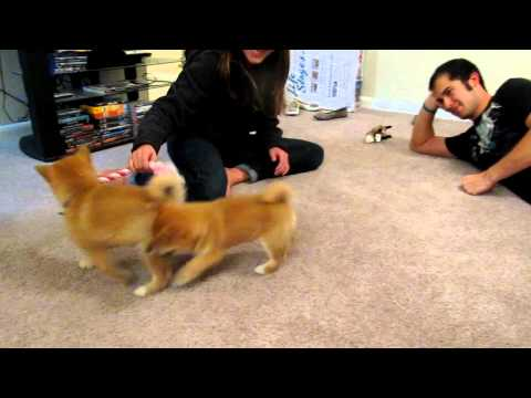 Playing with our new shibas