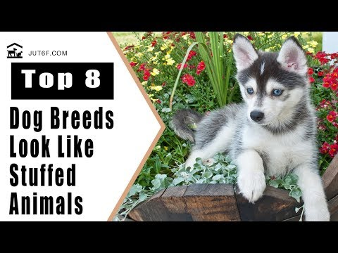 8 Dog Breeds That Look Like Stuffed Animals