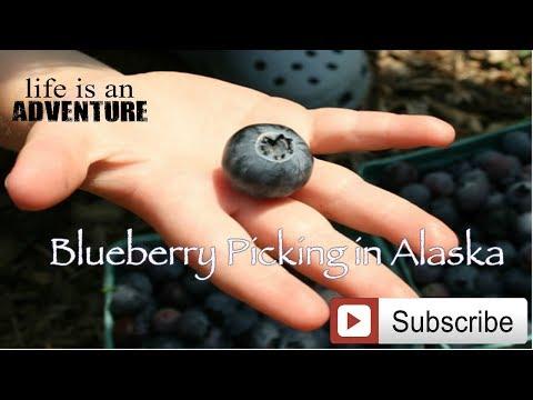 Best Blueberry Picking in Wrangell, AK