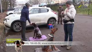 Щенки доберман и риджбек, чередование упражнения на внимание и общения щенков