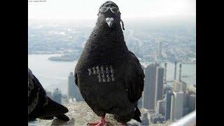 видео Удивительные факты о голубях