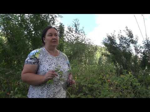 Шиповник - полезные свойства шиповника, применение и