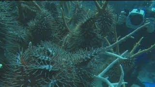 euronews science - Большой Барьерный Риф. Сигнал бедствия(http://ru.euronews.com/ Трудно переоценить роль, которую играют кораллы в экологии Мирового океана. Они служат убежищ..., 2012-10-03T16:40:51.000Z)