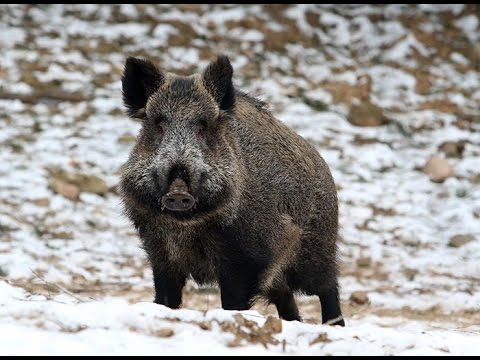 Wild Boar Attacks Human Іле-Алатауы ...