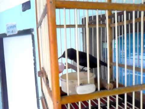 Kolibri ninja isian cililin nembak panjang.