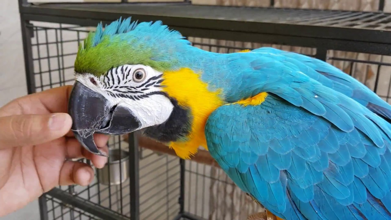 Blue & Gold Macaw Parrot - YouTube