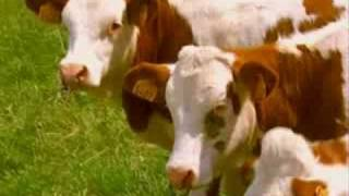 Comment l'éleveur choisit-il ses vaches ?