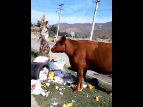 Las vacas-Cerdo