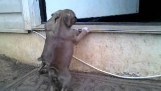 Boxer Pups Potting Training! 4wks old
