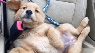 Funniest & Cutest Golden Retriever Puppies Compilation #5 - Funny Puppy Videos 2019