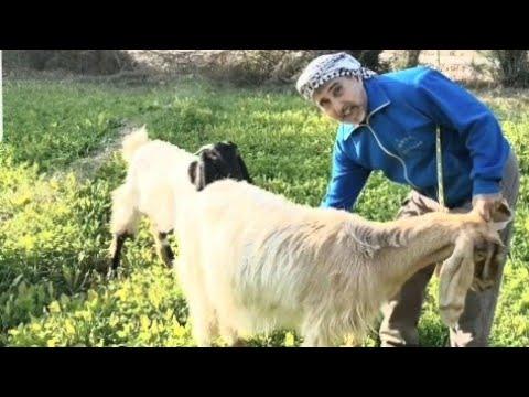 علامات الحمل عند الاغنام و الماعز و طريقة جس الاغنام و الماعز و كل مايتعلق بالحمل Youtube