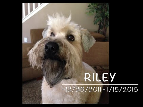 Goodbye Riley - Soft Coated Wheaten Terrier