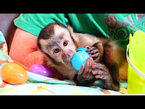 Baby Capuchin Easter Egg Foraging!  SUPER CUTE!!