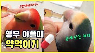앵무새 아플 때 약먹이는 법 ????