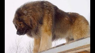 Leonberger Strong German Breed