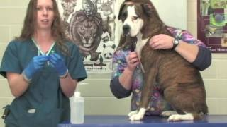 Veterinary Procedure - Drawing Blood