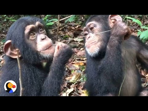 Baby Chimps Who Lost Their Moms Grow Up Together | The Dodo