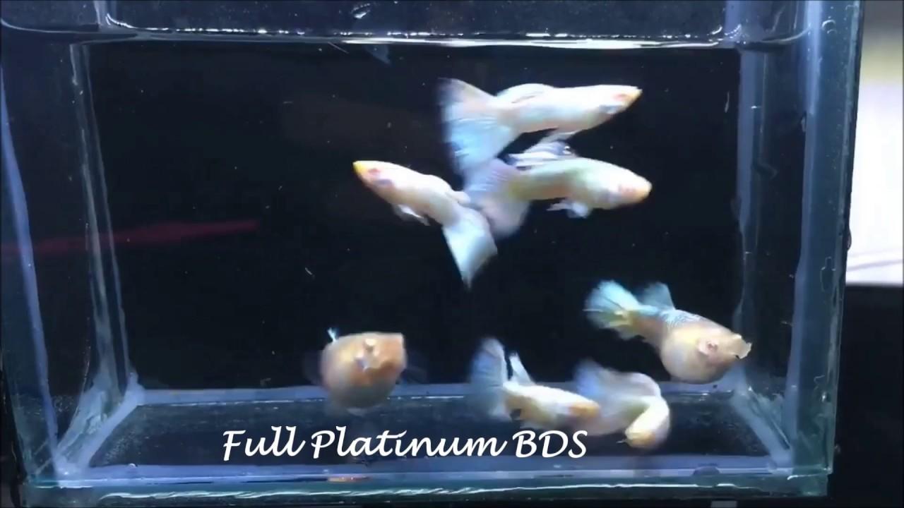 Most popular Guppy Fish types - YouTube | 720x1280