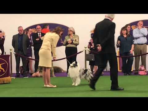Westminster 2018   Shetland Sheepdog