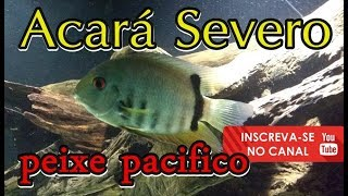 #42 PEIXE ACARÁ SEVERO VERDE!!! peixe pacifico no aquário jumbo 1100 litros
