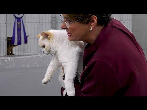 CFA International 2016 - Pam DelaBar shorthair kitten final