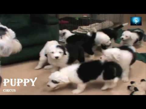 puppy circus/puppies playing with parents