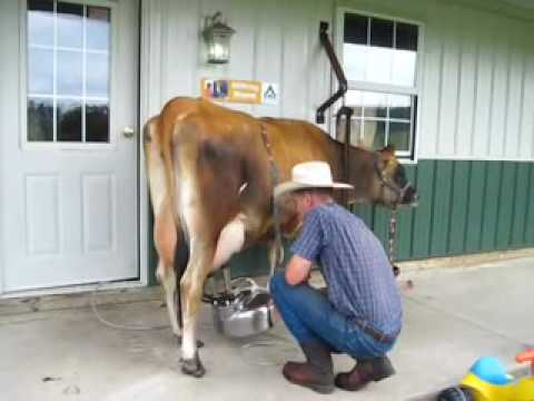 Image result for image of a cow being milked